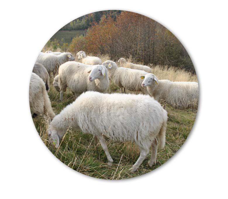 socna-reja-drobnice-bovska-ovca-2