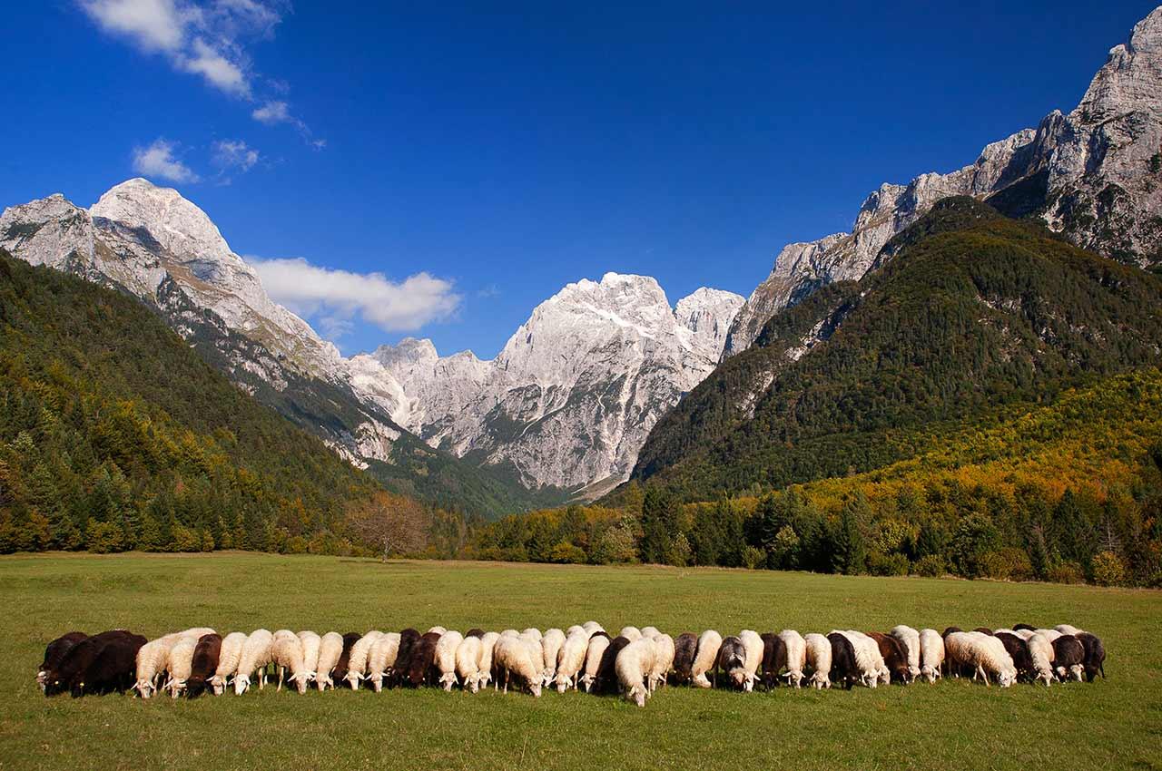 socna-reja-drobnice-ovce